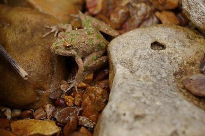 Tiny frog. Spring Creek, Douglas County, Missouri.