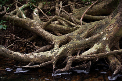 Sycamore roots. Spring Creek, a couple of miles above it's confluence with the North Fork (of the White River) at Twin Bridges, Missouri.