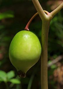 May apple. Douglas County, Missouri.