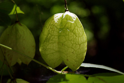 These paper thin Chinese lantern style seed pods are growing on Rick's place down by the creek.