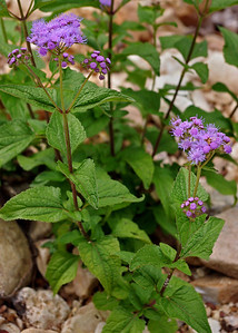 Purple flowers. Spring Creek, Douglas County, Missouri.