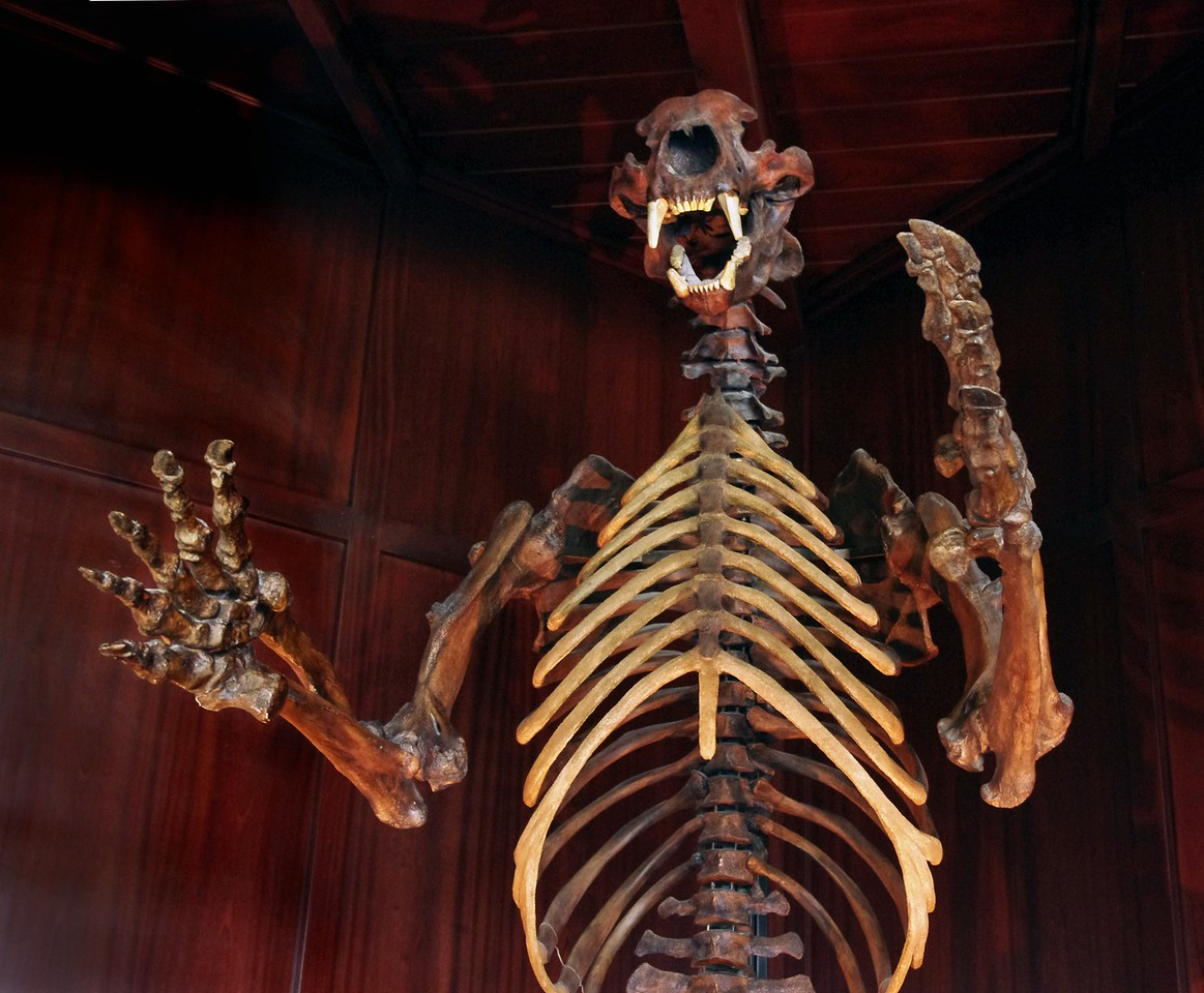 Cave bear skeleton on display at Top of the Rock, an attraction near Branson, MO