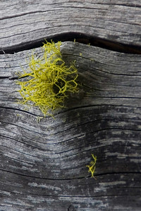 Wolf lichen on a dead log. Wolf lichen is a poison, used in Russia to poison wolves. Certain Native American tribes also used Wolf lichen to treat skin problems.