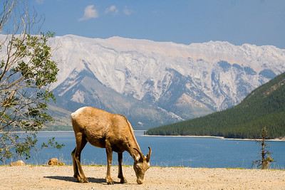 Cly thought this was a goat but  was told it was a sheep.  Lake Minnewanka is the water in the background.