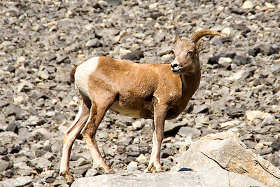This mountain sheep seemed happy to have its photo taken.  The scree in the background covers Ptarmigan Cirque.