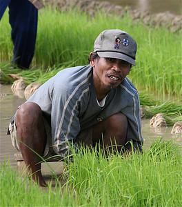 Rijstplukker. Bohol, de Filipijnen.