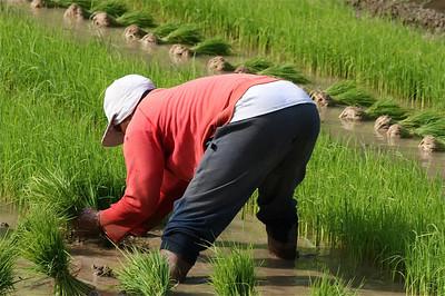 Een modderige bedoeling voor een bordje witte rijst. Bohol, de Filipijnen.