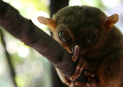 Tarsier aapje, het kleinste aapje ter wereld. Bohol, de Filipijnen.