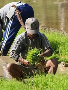 Rijstplantjes planten. Bohol, de Filipijnen.