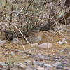Roadrunner near visitors center