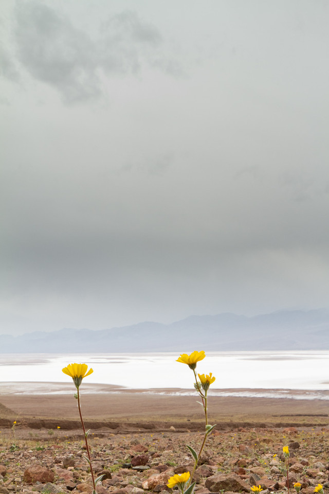 The 2nd day was dreary, cloudy and drizzly. These wildflowers, with Badwater salt flats below, seem to be thriving.
