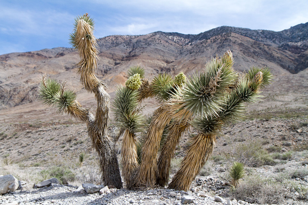 Partway down the Racetrack road, a forest of Joshua Trees suddenly appeared.