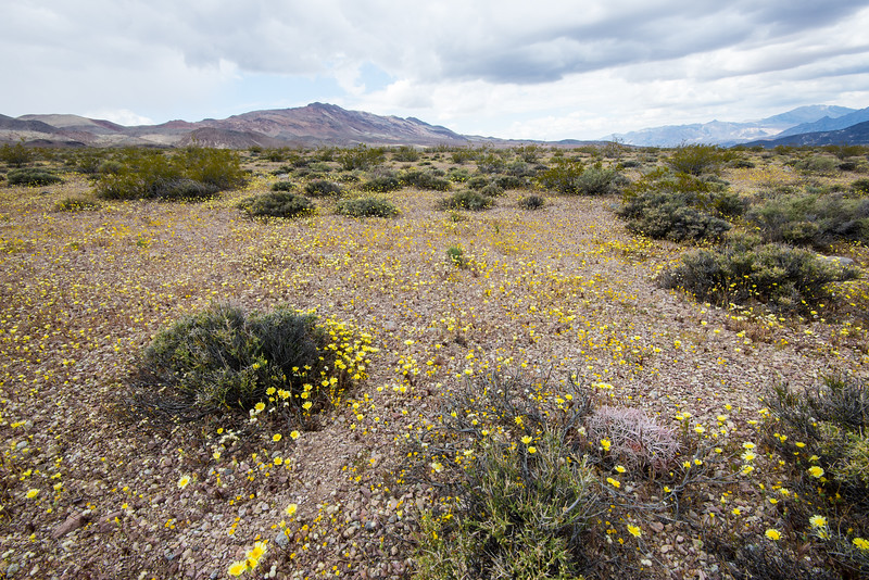 Spring bloom in Death Valley National Park, California - April 2016