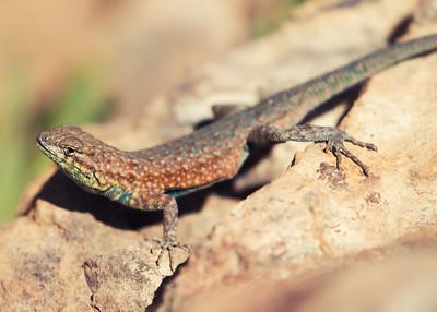 Western Side Blotched Lizard
