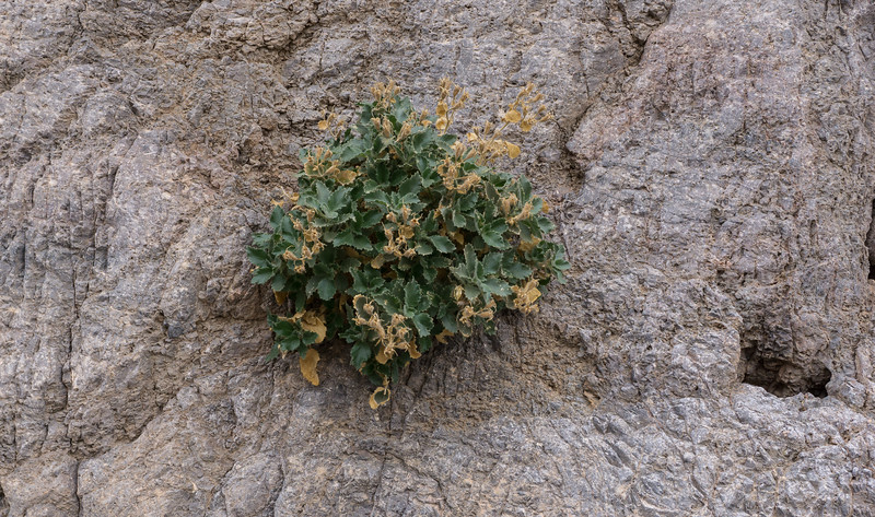 This plant, growing in a wall of stone, was toward the opening of our Fall Canyon hike. From beginning to end about 3.5 miles. Into the canyon, the walks is constantly up-hill, on the gravel brought to the floor of the canyon by centuries of flash floods. It was actually quite a strenuous hike, like walking for hours in soft sand, only instead of sand you were walking in gravel.