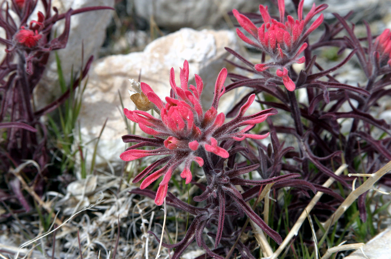 "<font size=""+1"">Let the flowers begin!  Nere's a little hunk of Indian Paint Brush we found growing near a quartz mine. </font>"