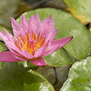 Lotus Flower at Furnace Creek Inn