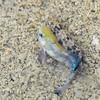 Pupfish at Salt Creek