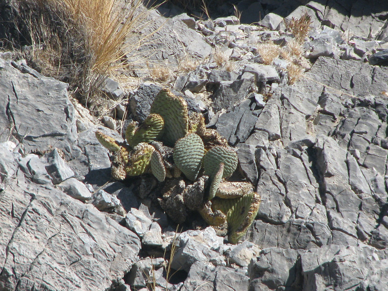 Pickly Pear Cactus growing out of some rocks.