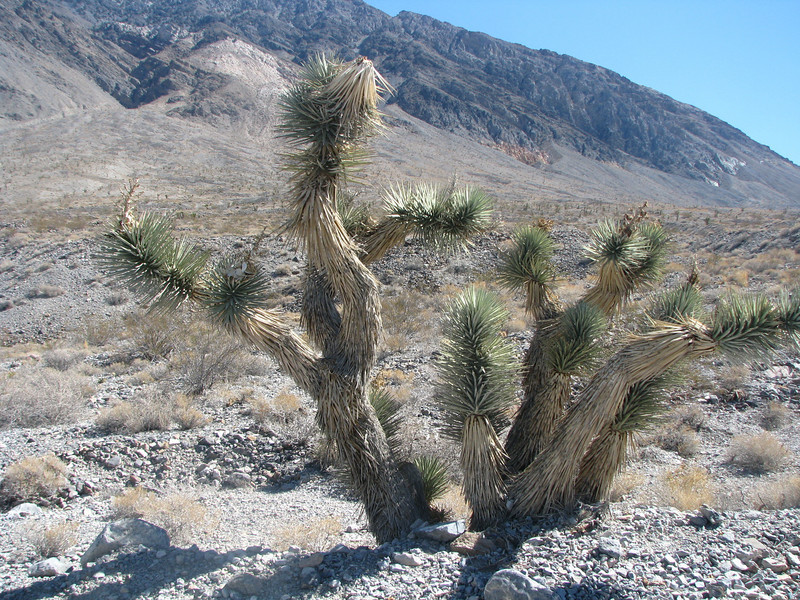 A lot of yucca type plants,such as these Joshua Trees, were starting to show up as we climb in elavation.