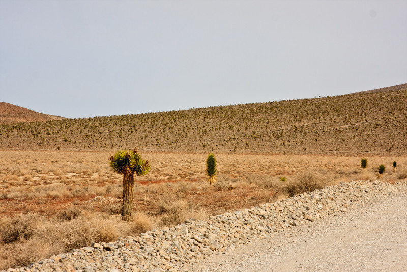 A Joshua Tree forest on the way to the Racetrack.