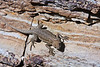 Mosaic Canyon. I couldn't ID this lizard.