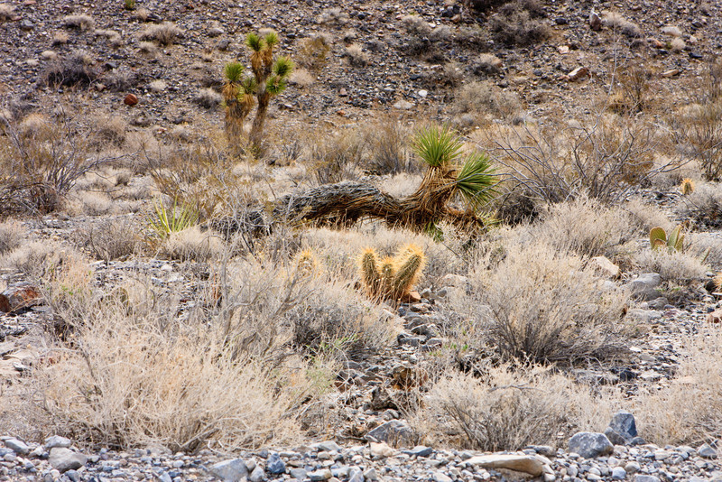 Cholla Cactus and a Joshua Tree on the way to the Racetrack.