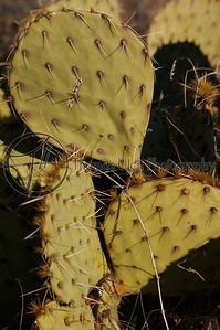Cactus. Death Valley, California.