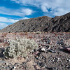 "<span id=""title"">Desert Holly</span> <em>Twenty Mule Team Canyon</em> We learned about the desert holly, one of the few plants adapted to survive the extreme heat of Death Valley. Its leaves turn away from the sun during the day, and it only flowers in winter - it's polinated by the wind, since there are almost no insects around."