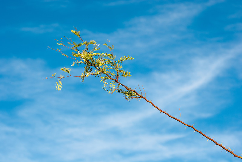 """<span id=""""title"""">Mesquite</span> <em>Texas Spring Campground</em> I suppose this is a mesquite tree, but it seems a little different than the mesquite trees I know from the Sonoran desert. I like how much the red branch stands out."""