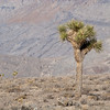 """<span id=""""title"""">Joshua Tree</span> <em>Racetrack Road</em> A nice bonus to driving to the Racetrack is seeing a Joshua Tree forest. They only grow at higher elevations, so you don't see them in the main part of Death Valley."""