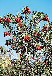 11/28/04 Toyon  (Heteromeles arbutifolia).Debs Audubon Center