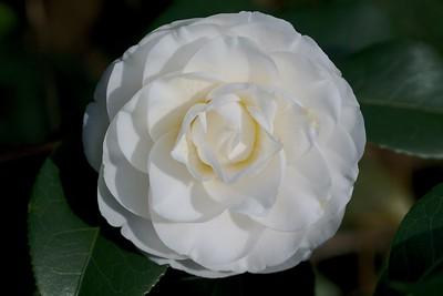 Camellia at the SC Botanical Gardens