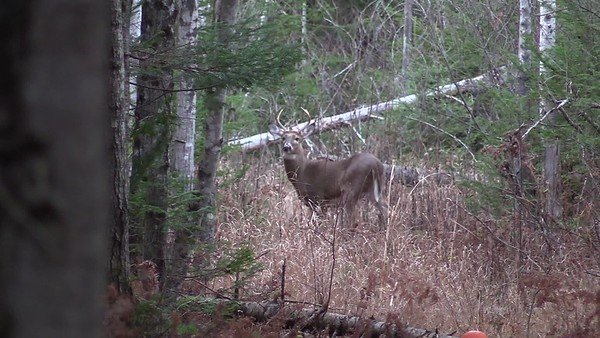 Buck Standing in Lane