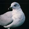 Ring-billed Gull - Somewhere in Delaware  10-26-98