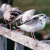 Young Ring-billed Gulls - Somewhere in Delaware  10-26-98