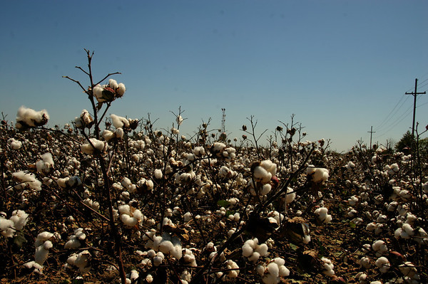 Clarksdale cotton.