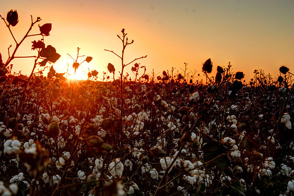 Sunset over cotton. Clarksdale Mississippi