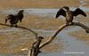 Pelea de cormoranes pigmeo por la mejor posición en el palo