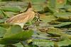 Garcilla cangrejera comiendo una rana (Ardeola ralloides)