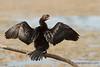 Cormorán pigmeo secándose las plumas