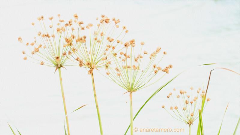 Clave alta de la planta acuática Butomus umbellatus sobre el Danubio