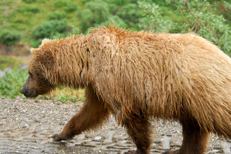 Grizzly walking by bus.