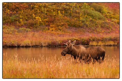 Moose by the Lake