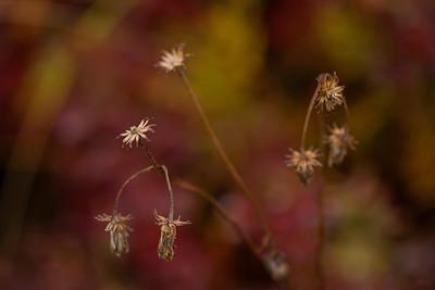 Dried Flowers Denali Autumn