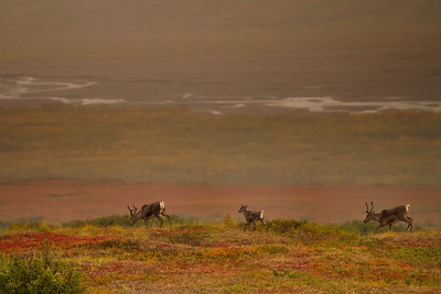 Three Caribou