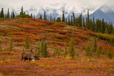 Caribou in Fall Tundra