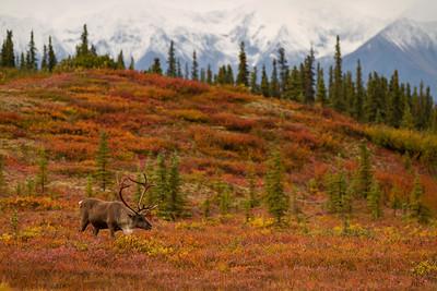 Caribou in Fall Tundra