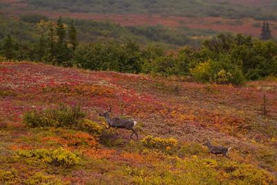 Mama caribou leads the way