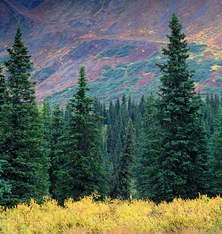Denali Evergreen and Fall Tundra